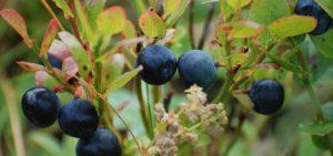 Fertilizer for Blueberries