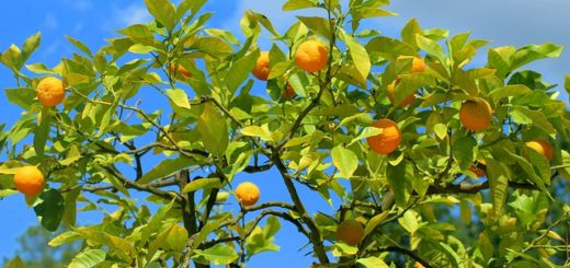 Fertilizer for Fruit Trees