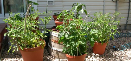 Fast growing Potted Vegetables